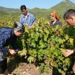 BERBA GROŽĐA NA PELJEŠCU: Poseban je doživljaj ne samo za stanovnike poluotoka nego i turiste